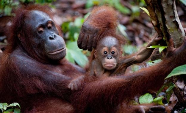 une-maman-et-son-bebe-ouran-outang