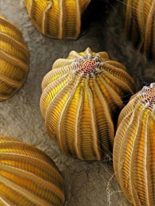 butterflyeggsmicroscope